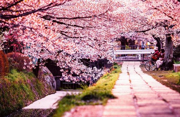 Na Japonskem v pričakovanju čarobnega cvetenja češenj