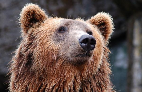 Pohodništvo na območjih, kjer živijo medvedi